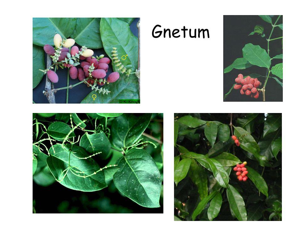 Gnetum Gnetum