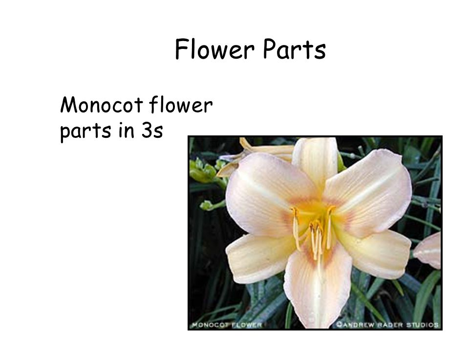 Flower Parts Monocot flower parts in 3s The Flowering Plants (cont.)