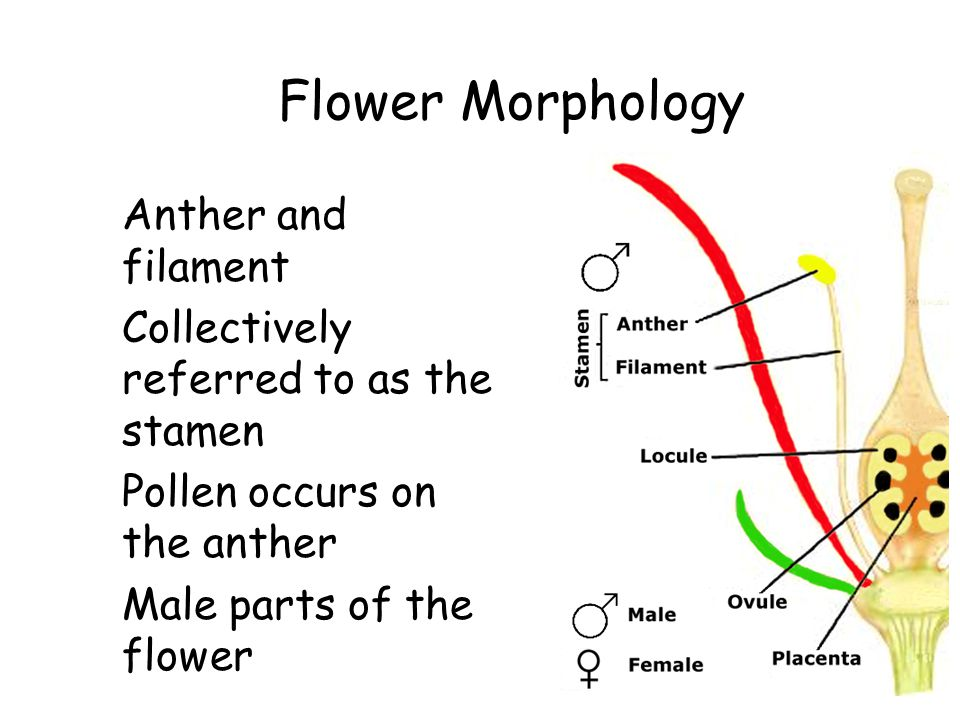 Flower Morphology Anther and filament