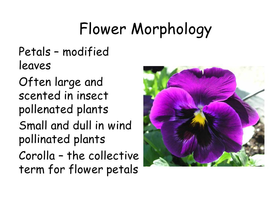 Flower Morphology Petals – modified leaves