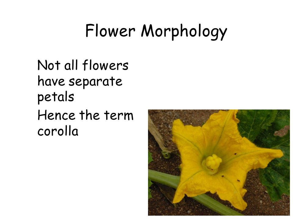 Flower Morphology Not all flowers have separate petals Hence the term corolla