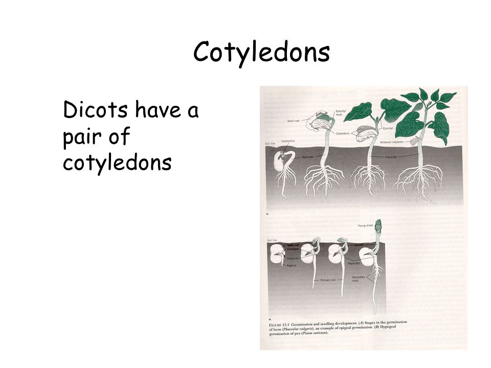 Cotyledons Dicots have a pair of cotyledons The Flowering Plants