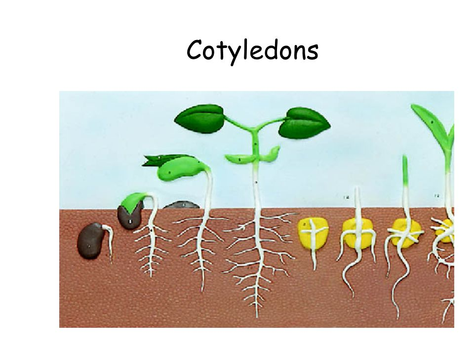 Cotyledons The Flowering Plants Flower Parts Cotyledons