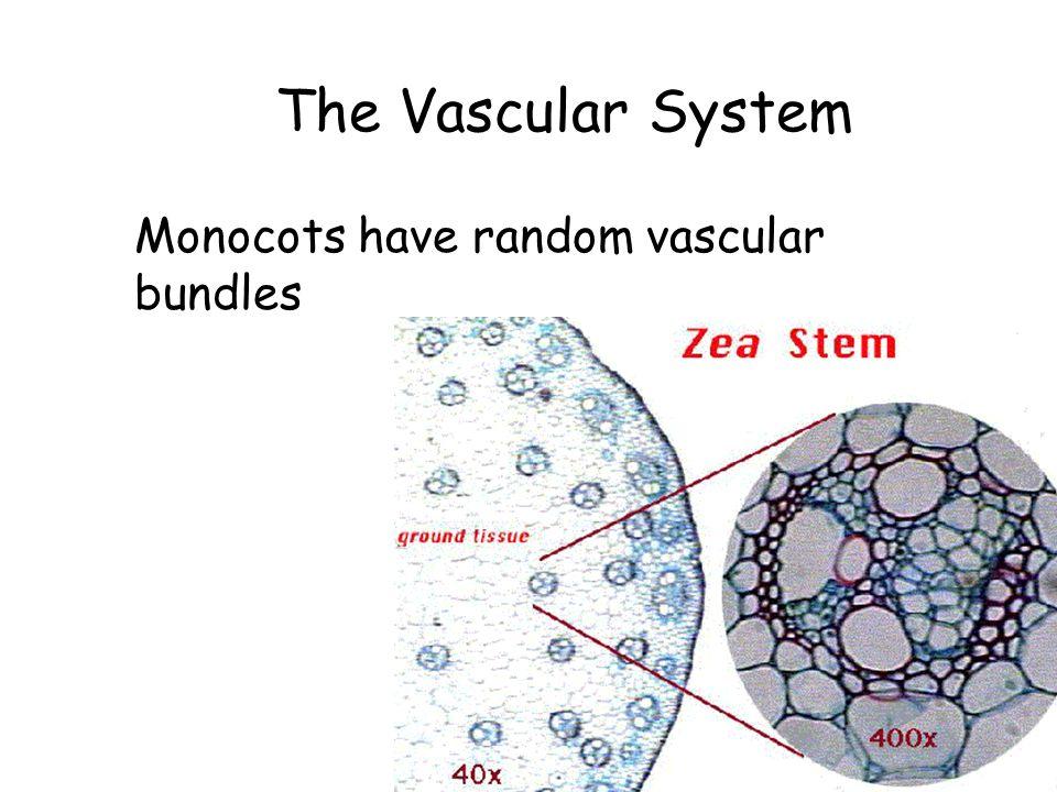 The Vascular System Monocots have random vascular bundles