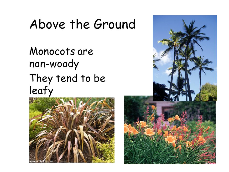 Above the Ground Monocots are non-woody They tend to be leafy