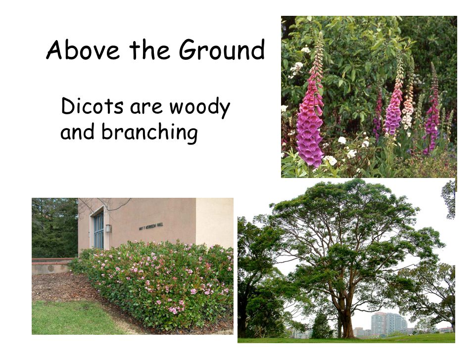Above the Ground Dicots are woody and branching The Flowering Plants