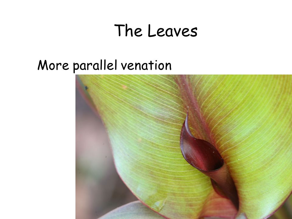 The Leaves More parallel venation