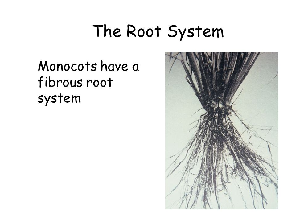 The Root System Monocots have a fibrous root system