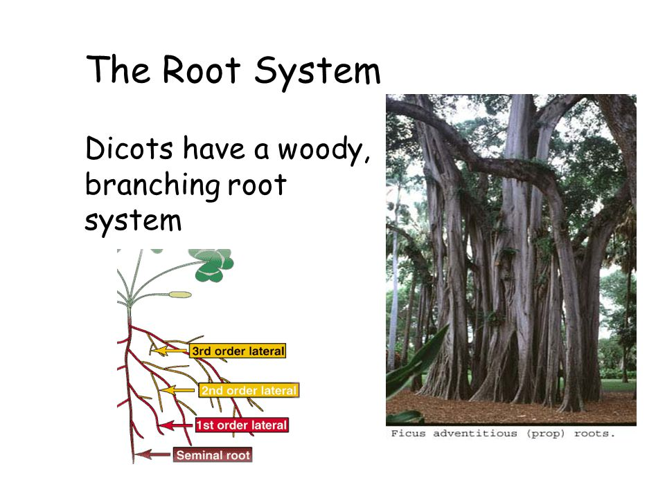 The Root System Dicots have a woody, branching root system