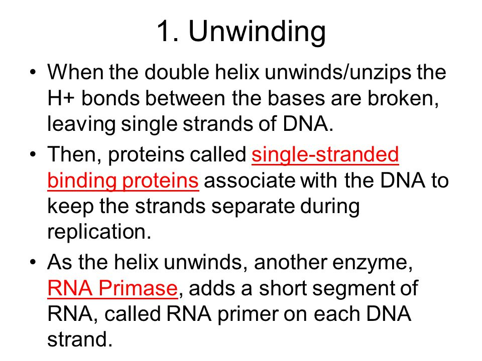 1. Unwinding When the double helix unwinds/unzips the H+ bonds between the bases are broken, leaving single strands of DNA.