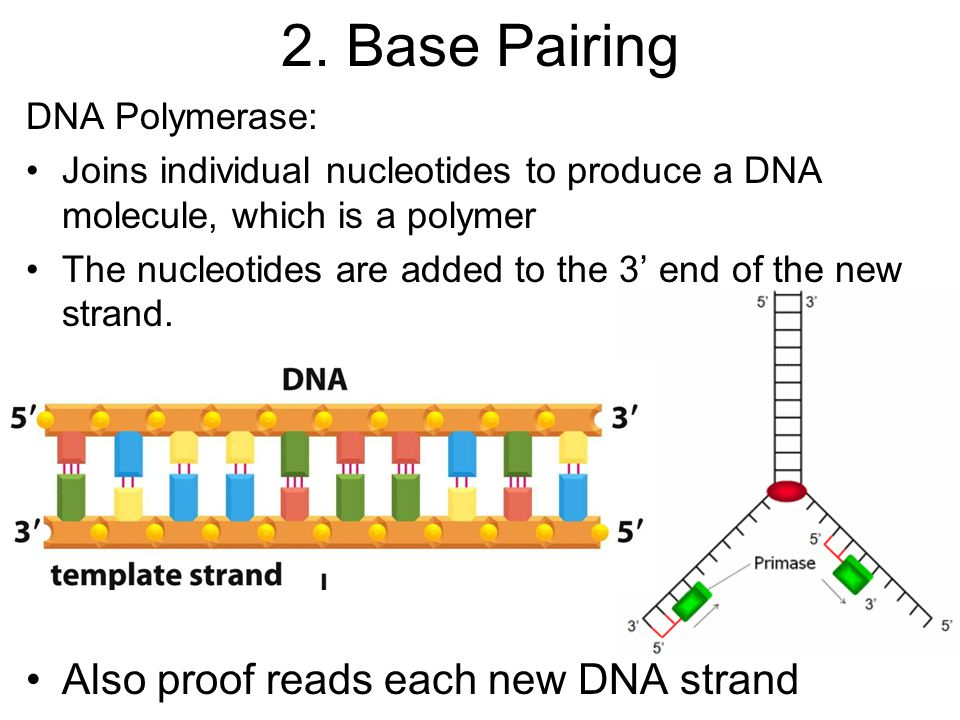 2. Base Pairing Also proof reads each new DNA strand DNA Polymerase: