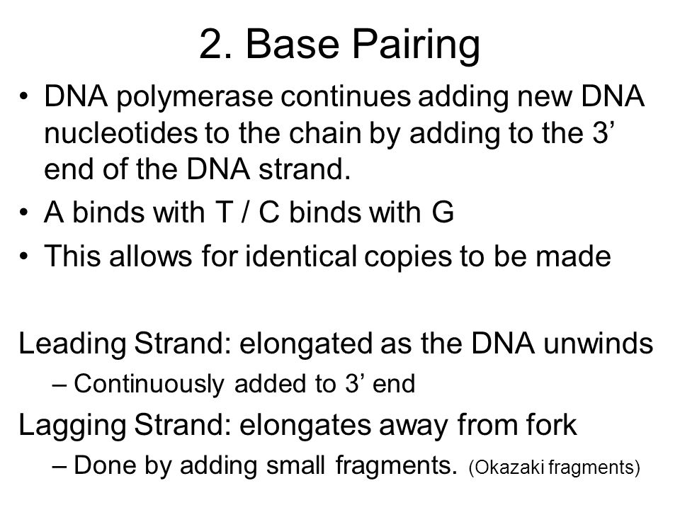 2. Base Pairing DNA polymerase continues adding new DNA nucleotides to the chain by adding to the 3' end of the DNA strand.