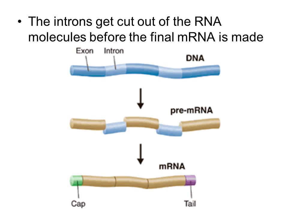 The introns get cut out of the RNA molecules before the final mRNA is made