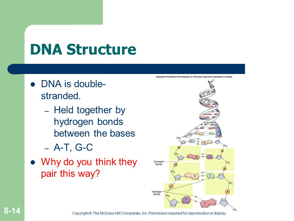 DNA Structure DNA is double- stranded.