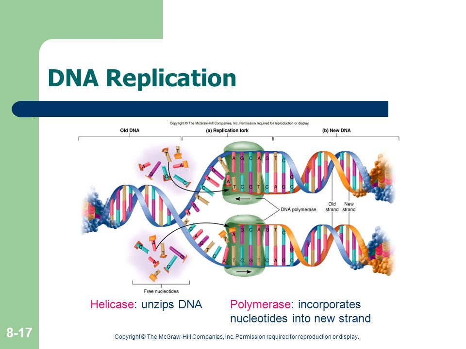 DNA Replication Helicase: unzips DNA Polymerase: incorporates nucleotides into new strand.