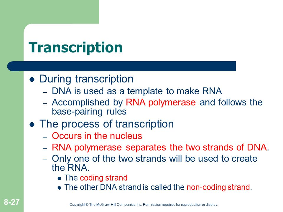 Transcription During transcription The process of transcription