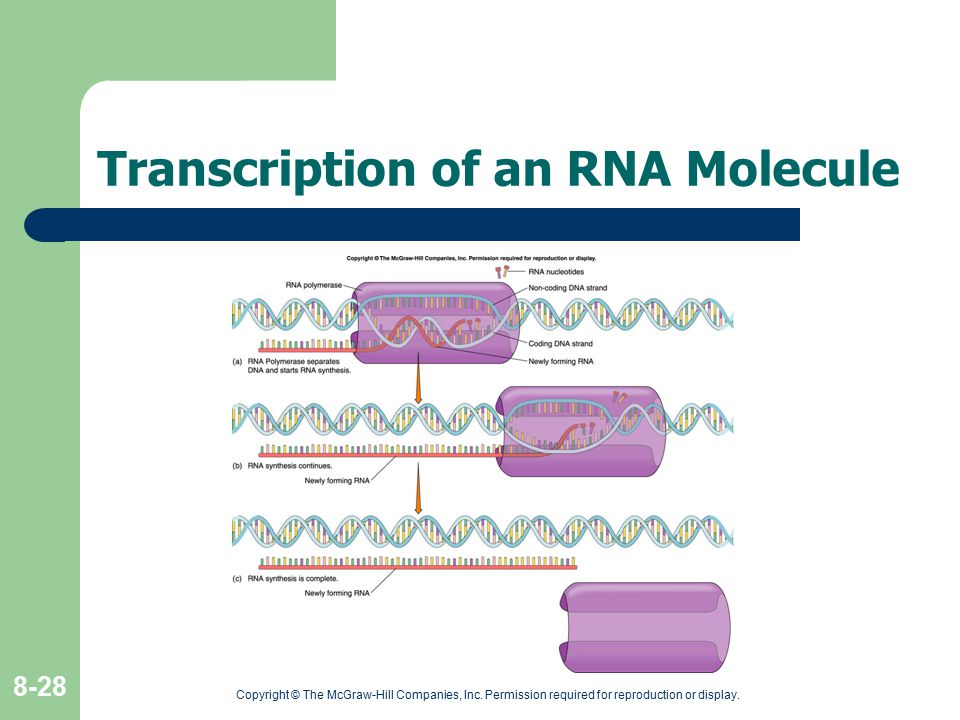 Transcription of an RNA Molecule