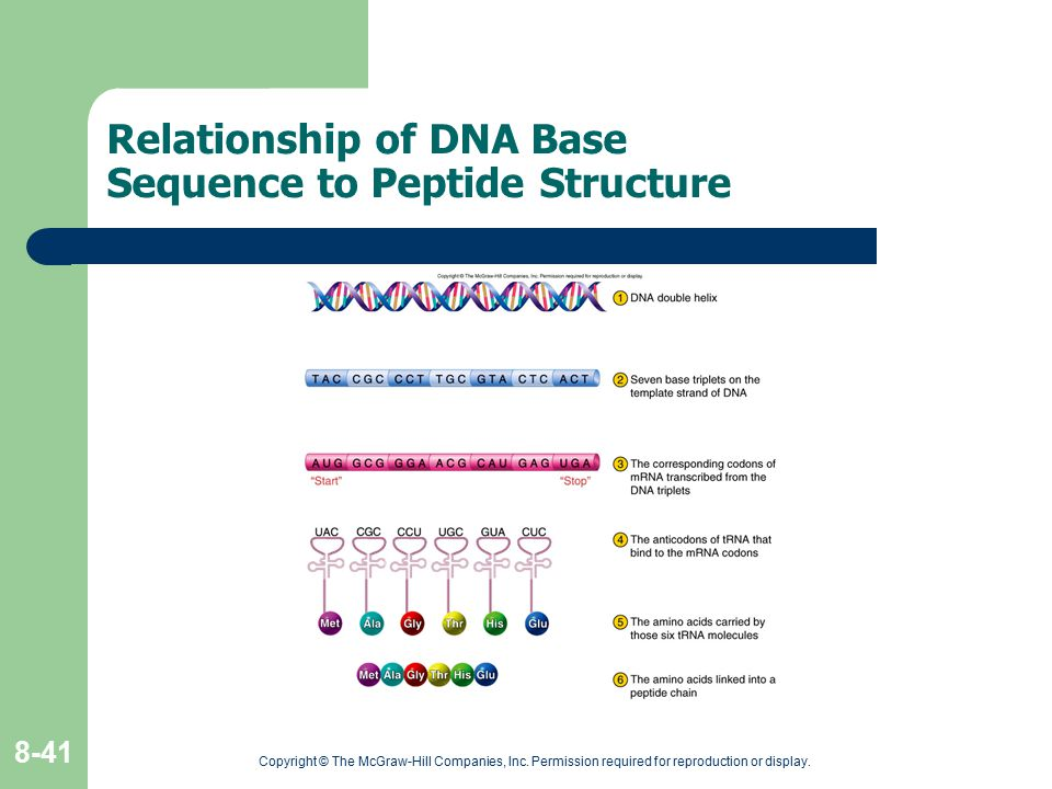 Relationship of DNA Base Sequence to Peptide Structure