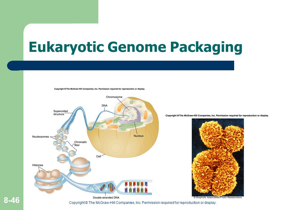 Eukaryotic Genome Packaging
