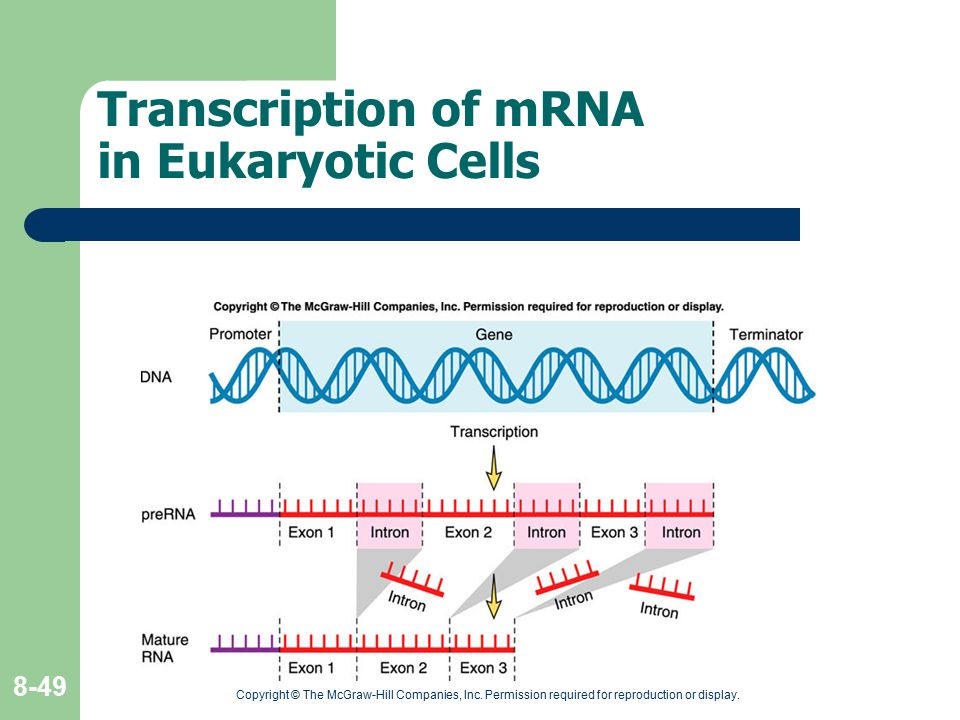 Transcription of mRNA in Eukaryotic Cells