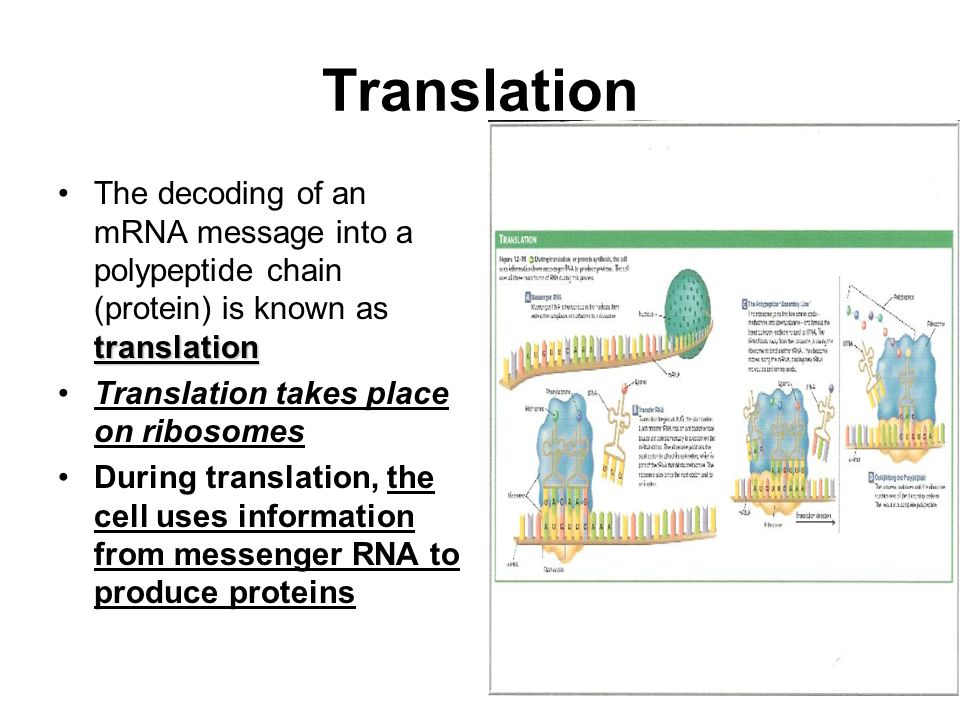 Translation The decoding of an mRNA message into a polypeptide chain (protein) is known as translation.