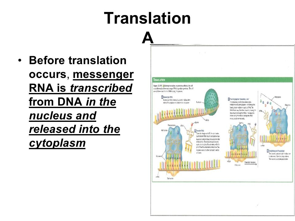 Translation A Before translation occurs, messenger RNA is transcribed from DNA in the nucleus and released into the cytoplasm.