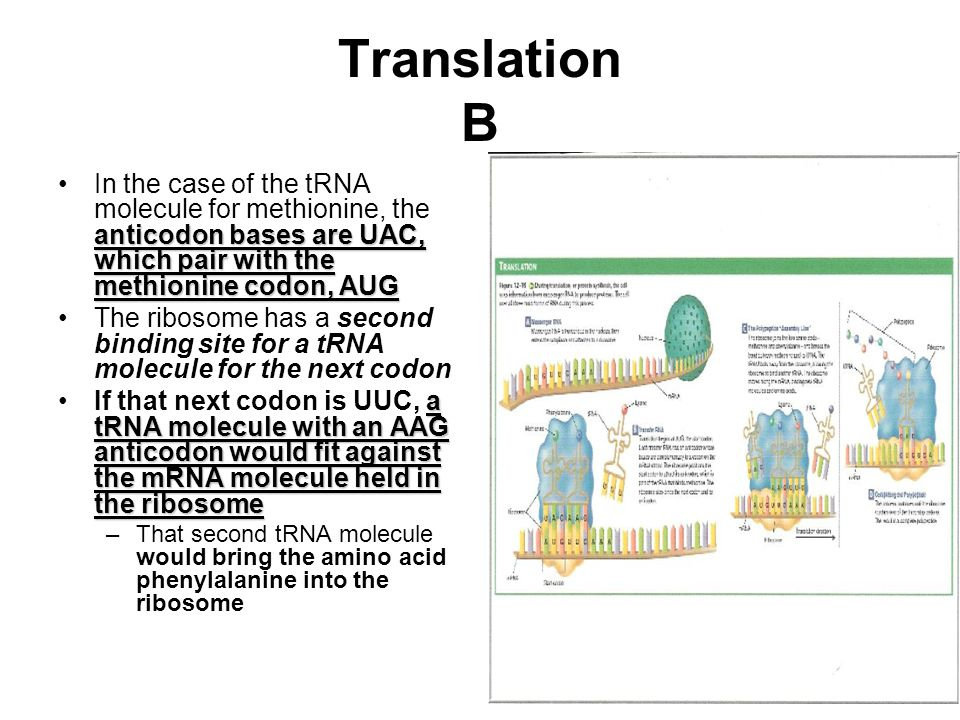 Translation B In the case of the tRNA molecule for methionine, the anticodon bases are UAC, which pair with the methionine codon, AUG.