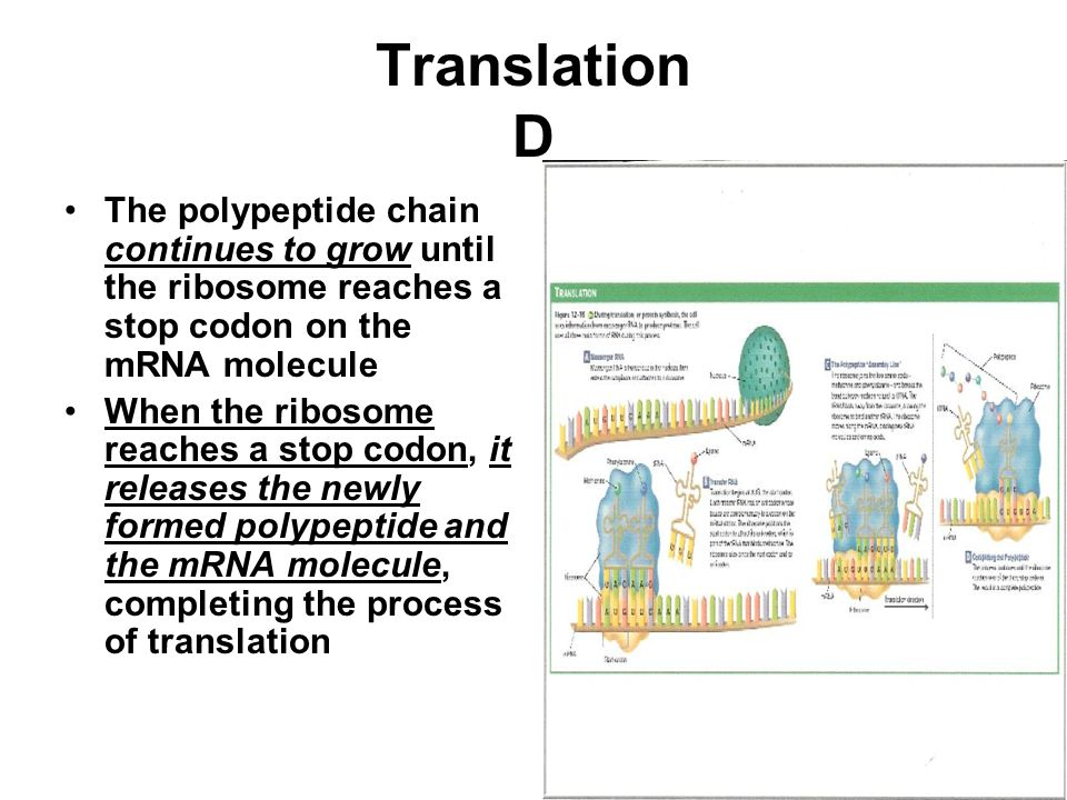 Translation D The polypeptide chain continues to grow until the ribosome reaches a stop codon on the mRNA molecule.