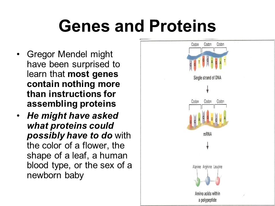Genes and Proteins Gregor Mendel might have been surprised to learn that most genes contain nothing more than instructions for assembling proteins.