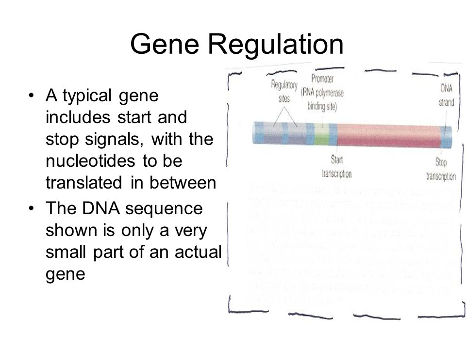 Gene Regulation A typical gene includes start and stop signals, with the nucleotides to be translated in between.