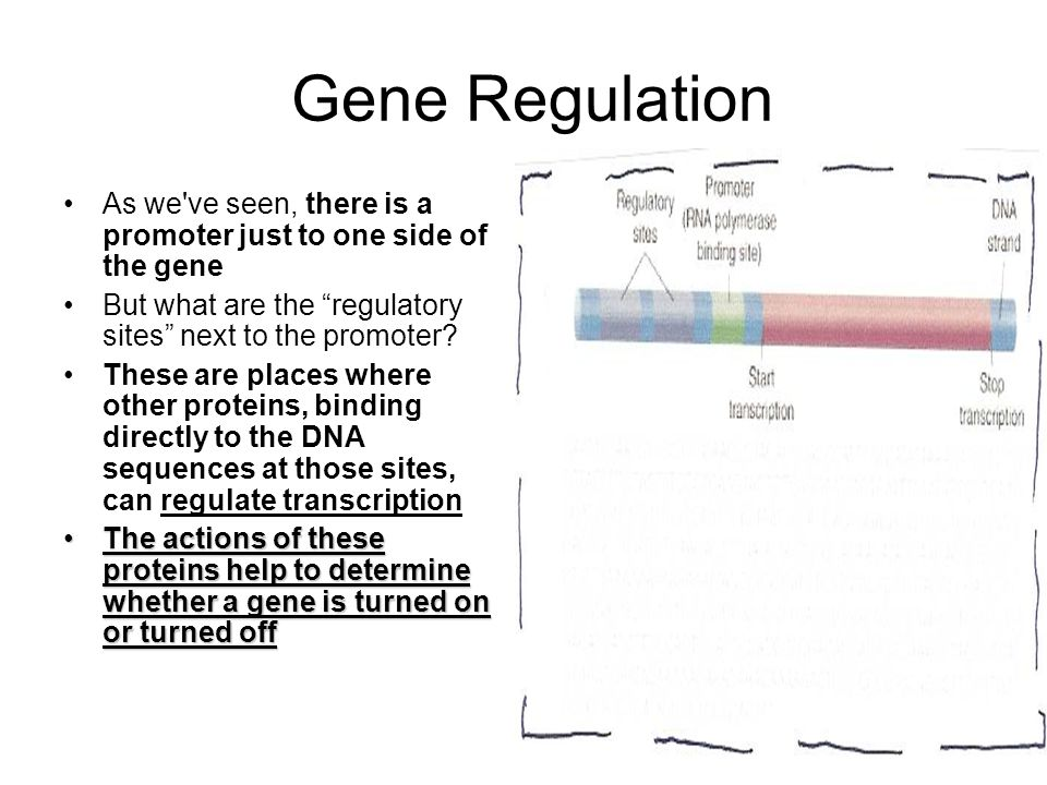 Gene Regulation As we ve seen, there is a promoter just to one side of the gene. But what are the regulatory sites next to the promoter