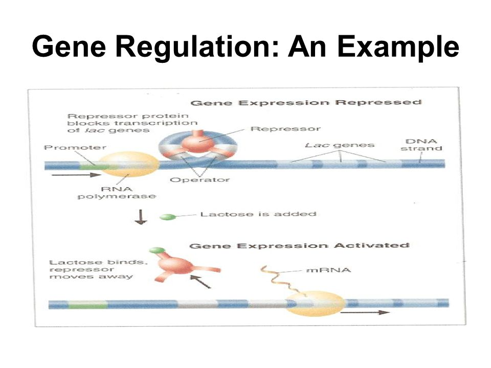 Gene Regulation: An Example