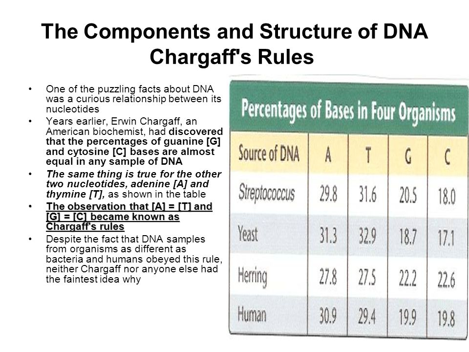 The Components and Structure of DNA Chargaff s Rules