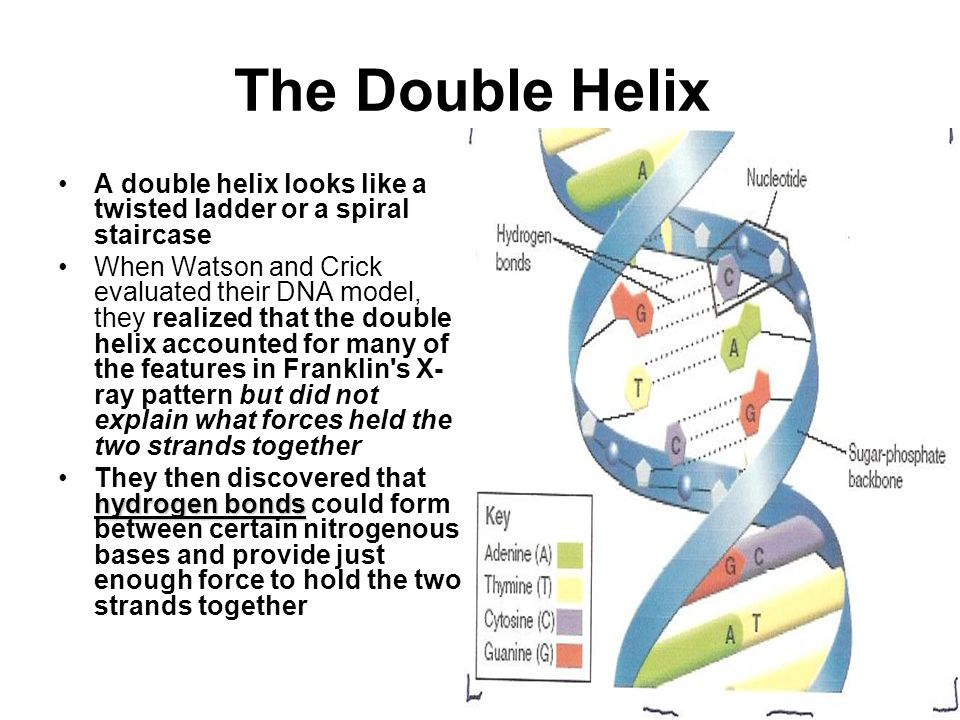 The Double Helix A double helix looks like a twisted ladder or a spiral staircase.