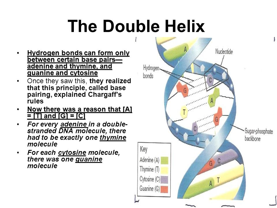 The Double Helix Hydrogen bonds can form only between certain base pairs—adenine and thymine, and guanine and cytosine.