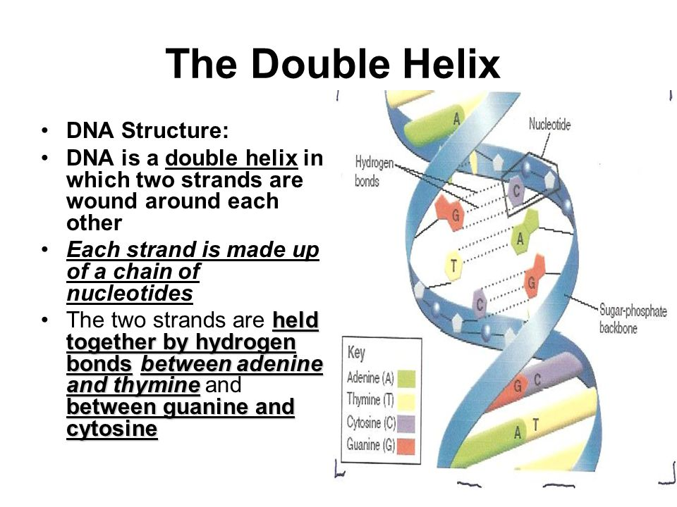 The Double Helix DNA Structure: