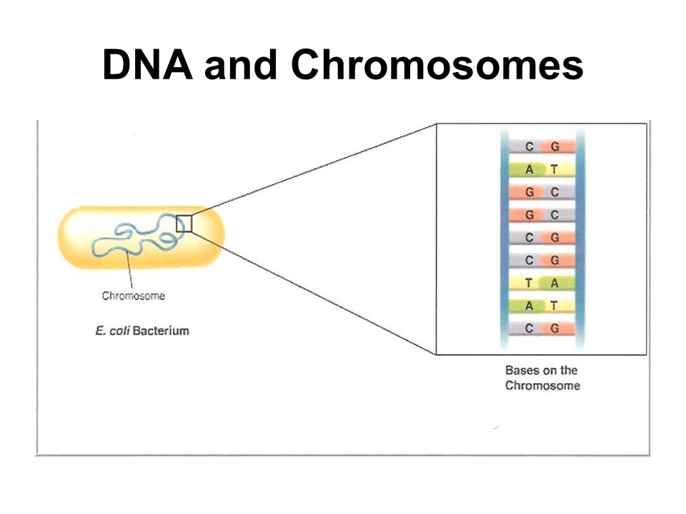DNA and Chromosomes