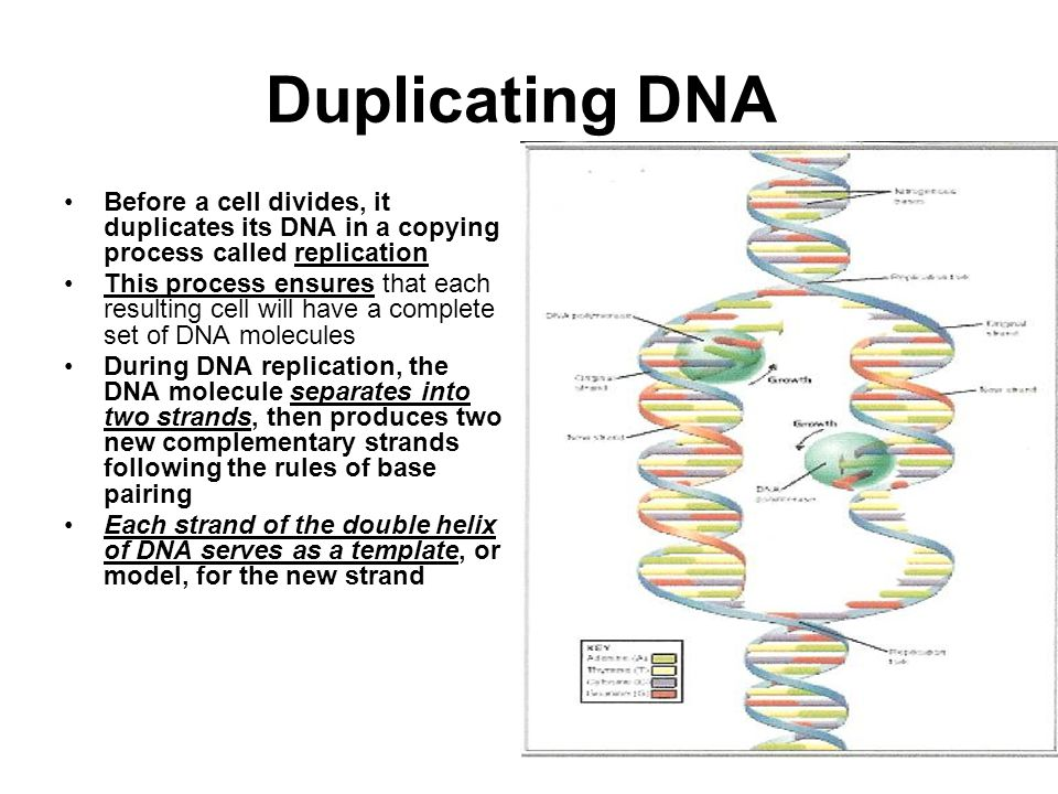 Duplicating DNA Before a cell divides, it duplicates its DNA in a copying process called replication.