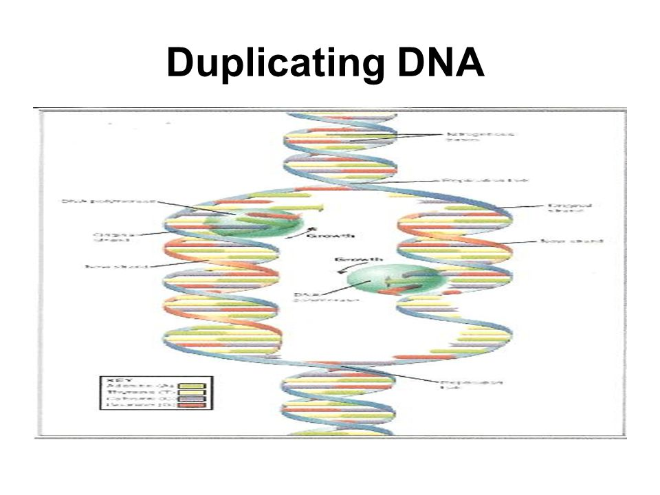 Duplicating DNA