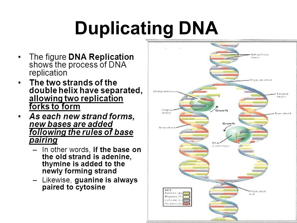 Duplicating DNA The figure DNA Replication shows the process of DNA replication.