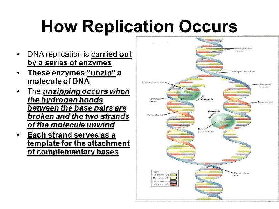How Replication Occurs