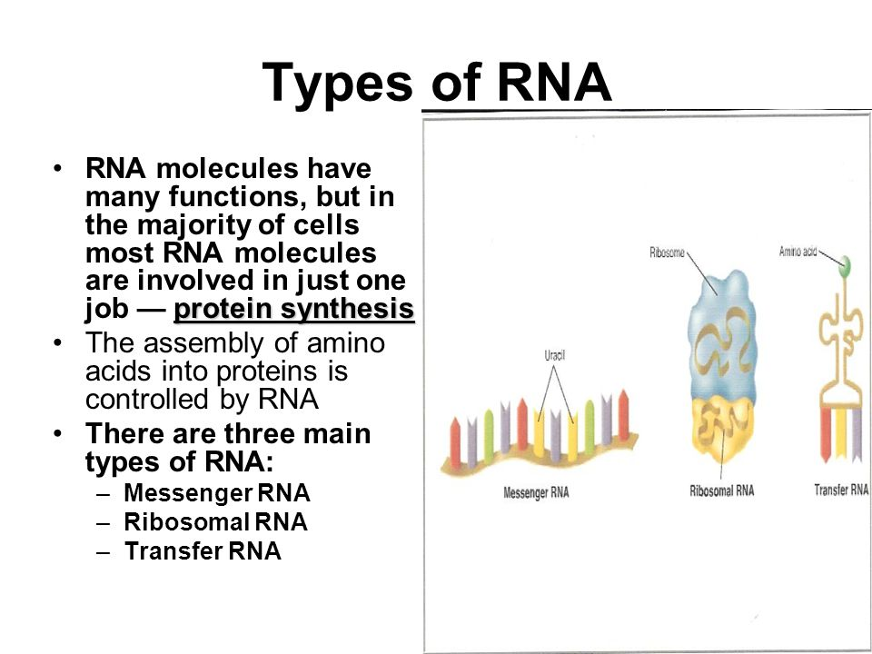 Types of RNA RNA molecules have many functions, but in the majority of cells most RNA molecules are involved in just one job — protein synthesis.