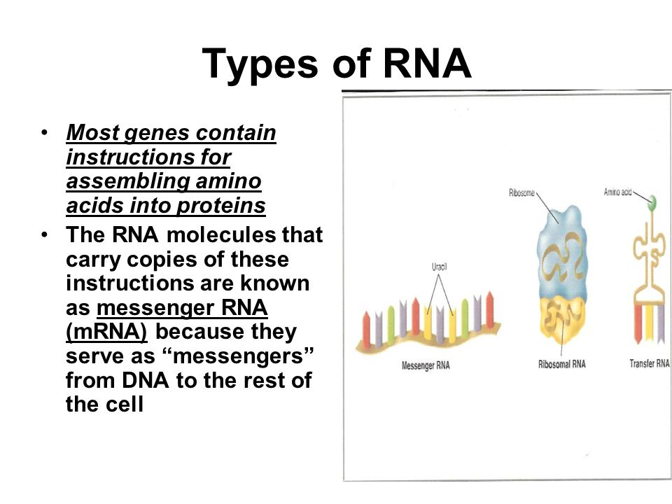 Types of RNA Most genes contain instructions for assembling amino acids into proteins.