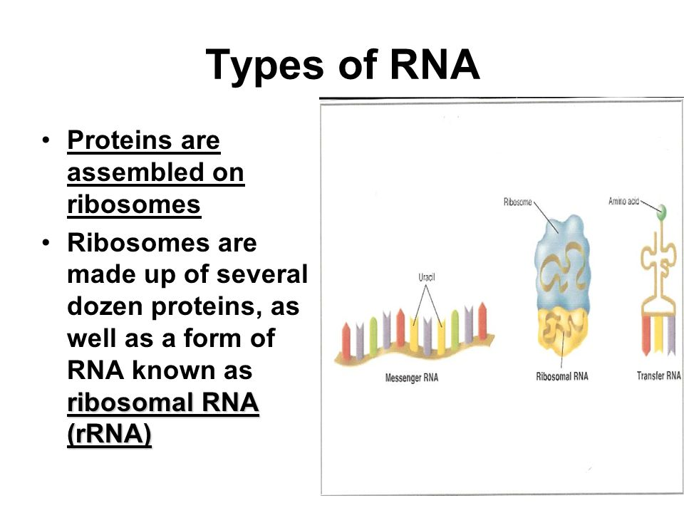 Types of RNA Proteins are assembled on ribosomes