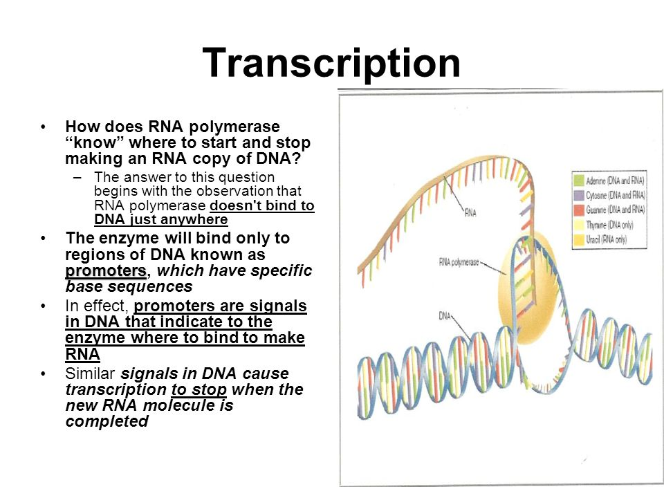 Transcription How does RNA polymerase know where to start and stop making an RNA copy of DNA