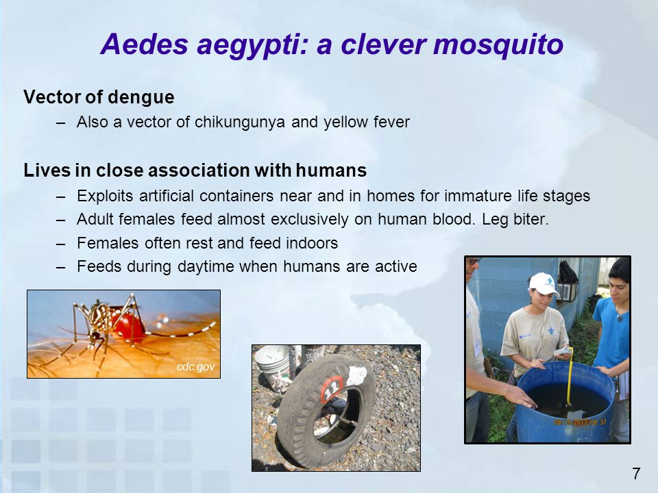 Aedes aegypti: a clever mosquito