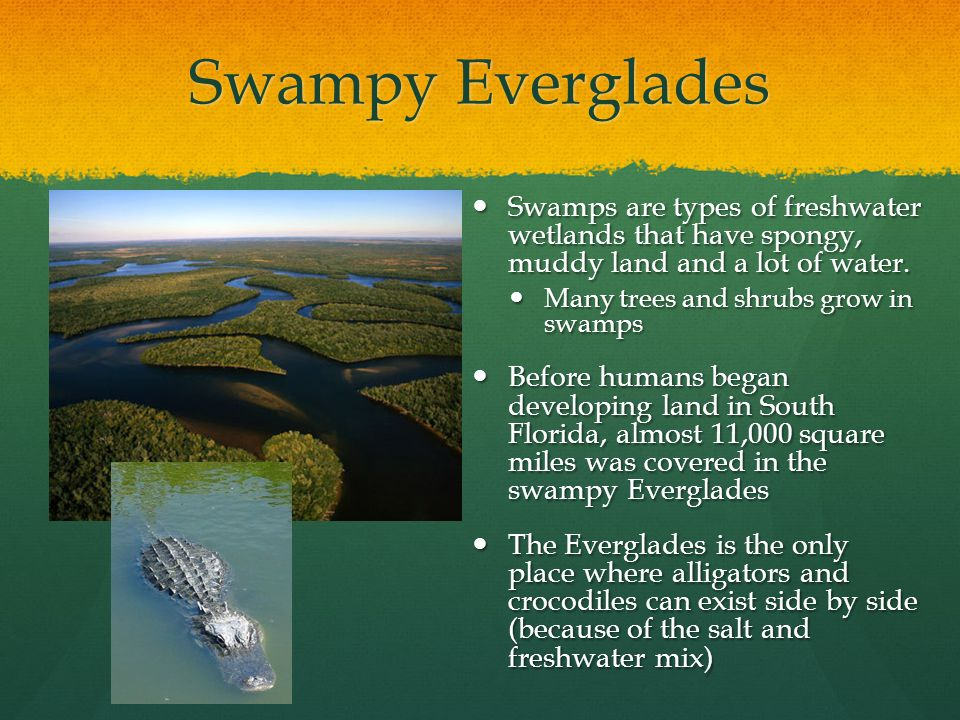 Swampy Everglades Swamps are types of freshwater wetlands that have spongy, muddy land and a lot of water.