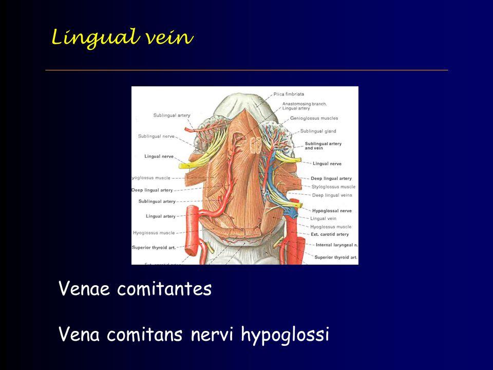 Lingual vein Venae comitantes Vena comitans nervi hypoglossi