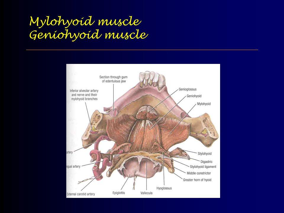 Mylohyoid muscle Geniohyoid muscle