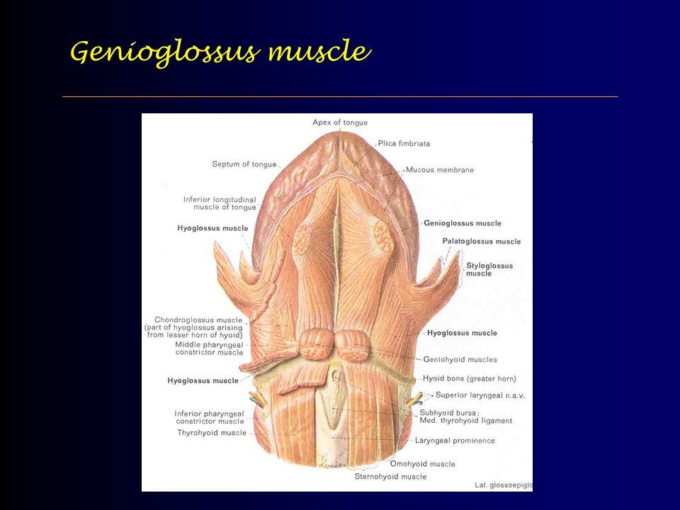 Genioglossus muscle